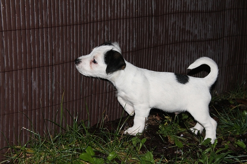 Chiots jack russell LOF Img_0512