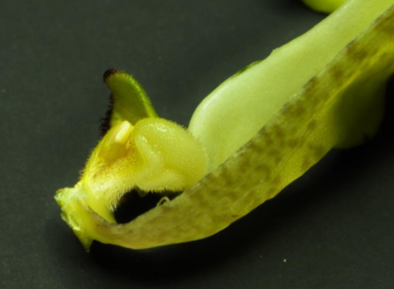 phragmipedium richteri découpage Dsc_3315