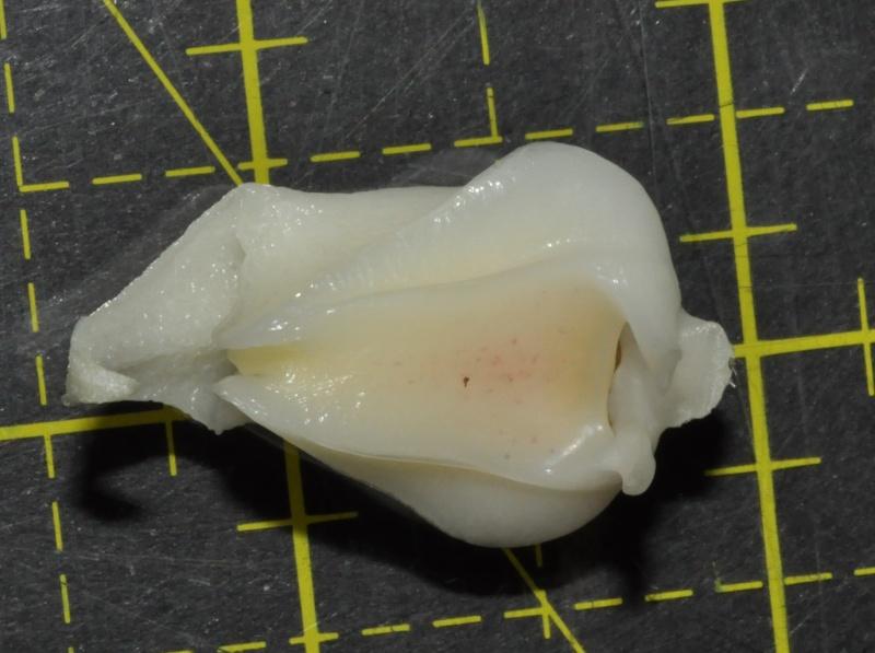 stanhopea candida autopsie de la fleur Stanho16