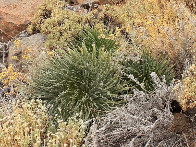 Echium wildpretii - Seite 2 Echium11