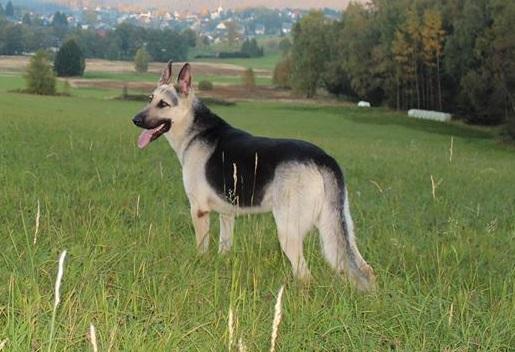 ПОМЕТ ПРОДАН. 12-11-2014, щенки в Швеции 10625010