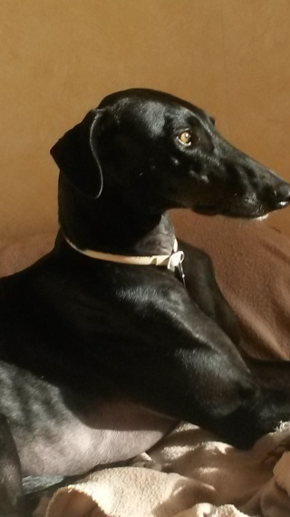 Negrito/Feïto doux galgo aux yeux tristes Scooby France Adopté - Page 5 20141013
