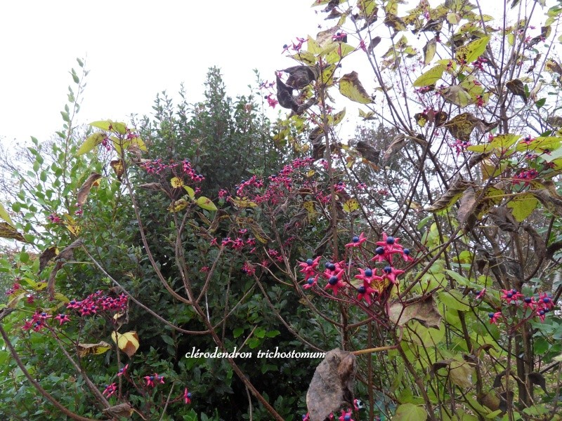 clerodendron trichotomum 3-sdc116