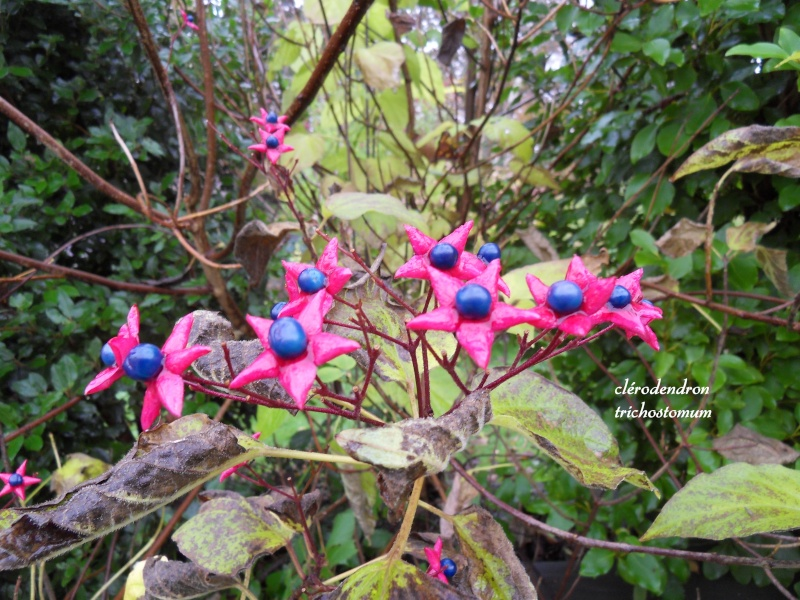 clerodendron trichotomum 4-sdc113