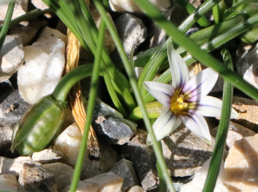 Romulea bulbocodium Img_4012
