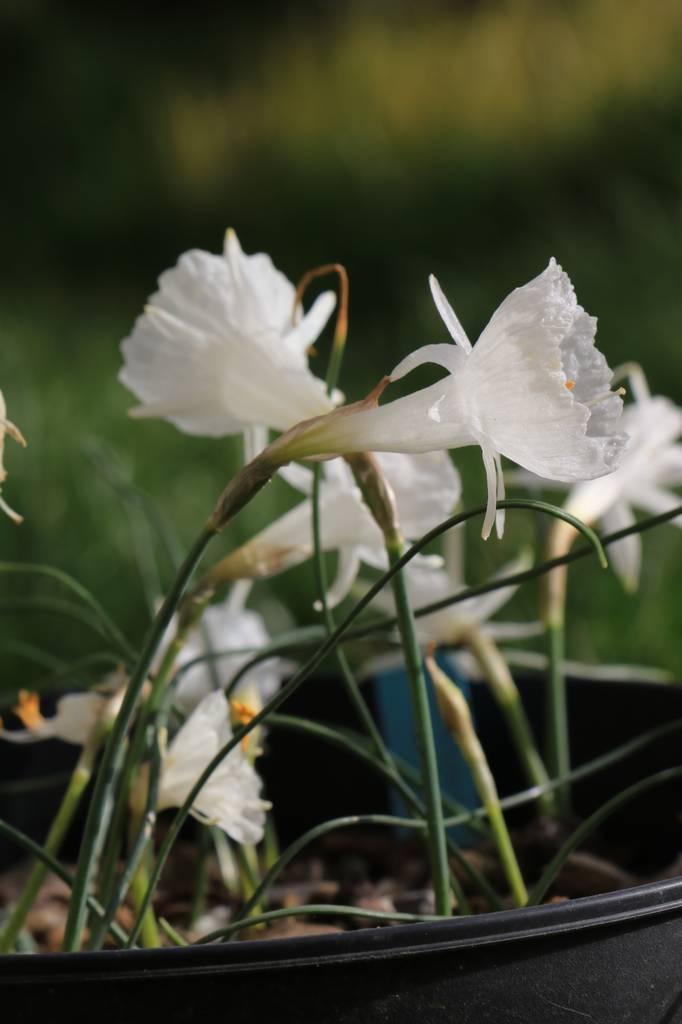 Narcissus 2021 Narcis10