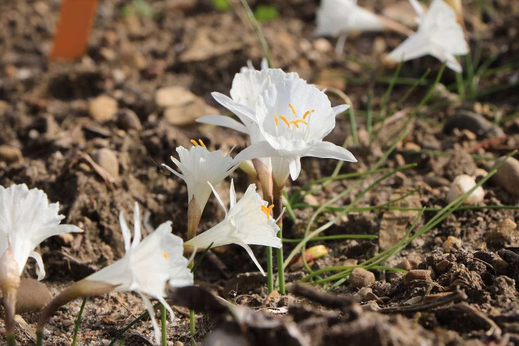 Narcissus 2021 Narcis11