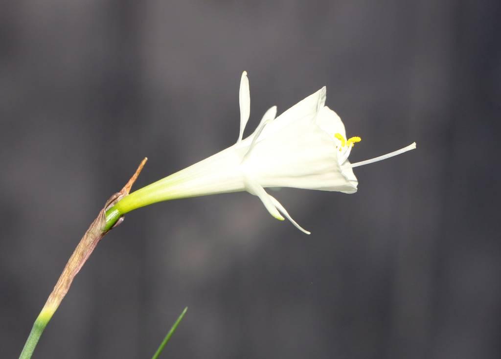 Narcissus 2021 Narcis12
