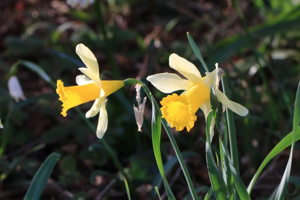 Narcissus 2021 Narcis13