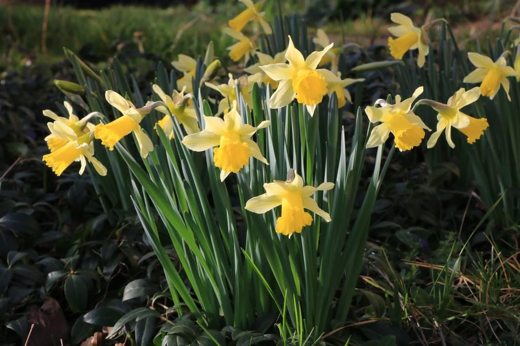 Narcissus 2021 Narcis14