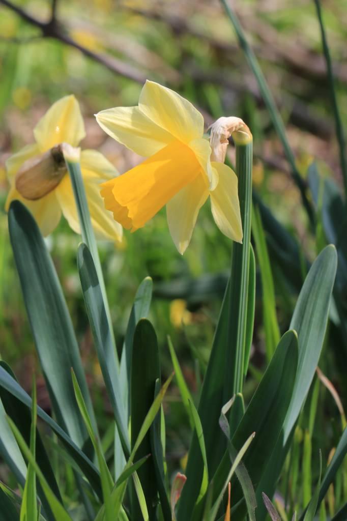 Narcissus 2021 Narcis15