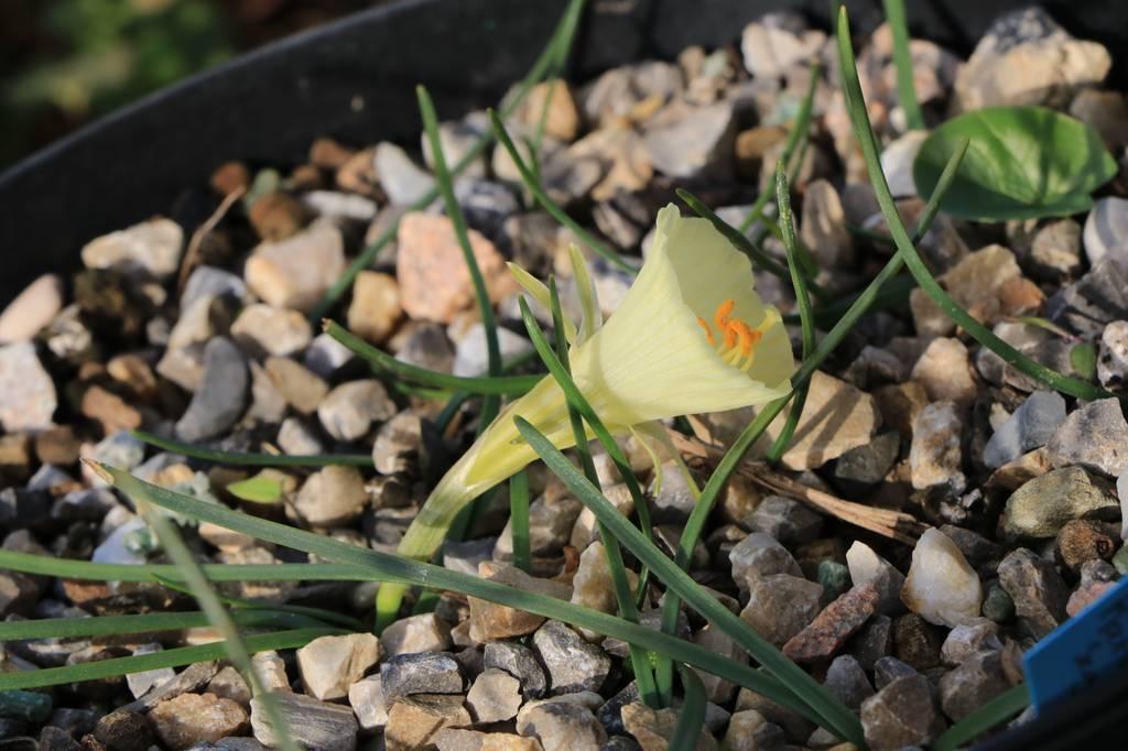 Narcissus 2021 Narcis18