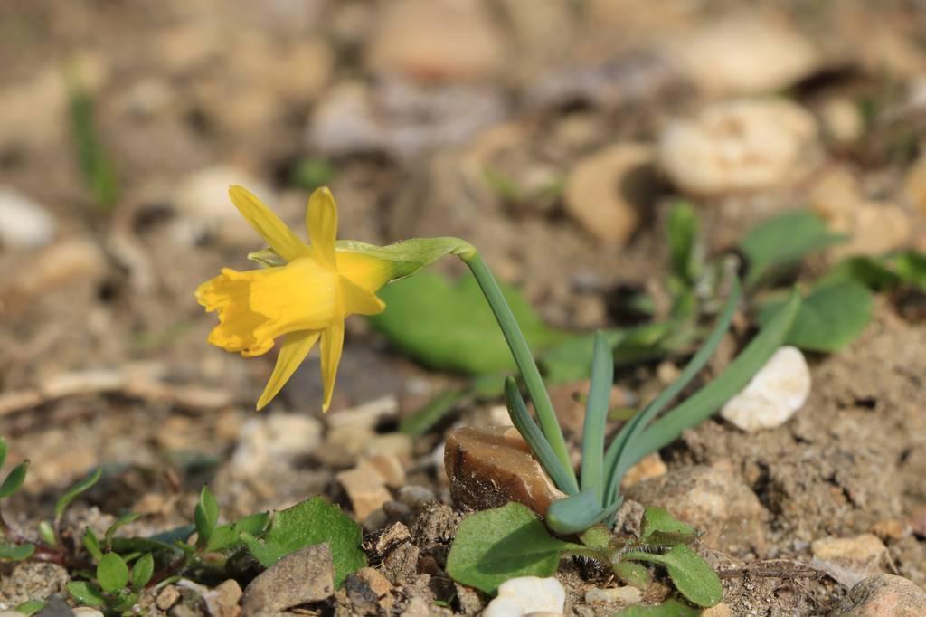 Narcissus 2021 Narcis25
