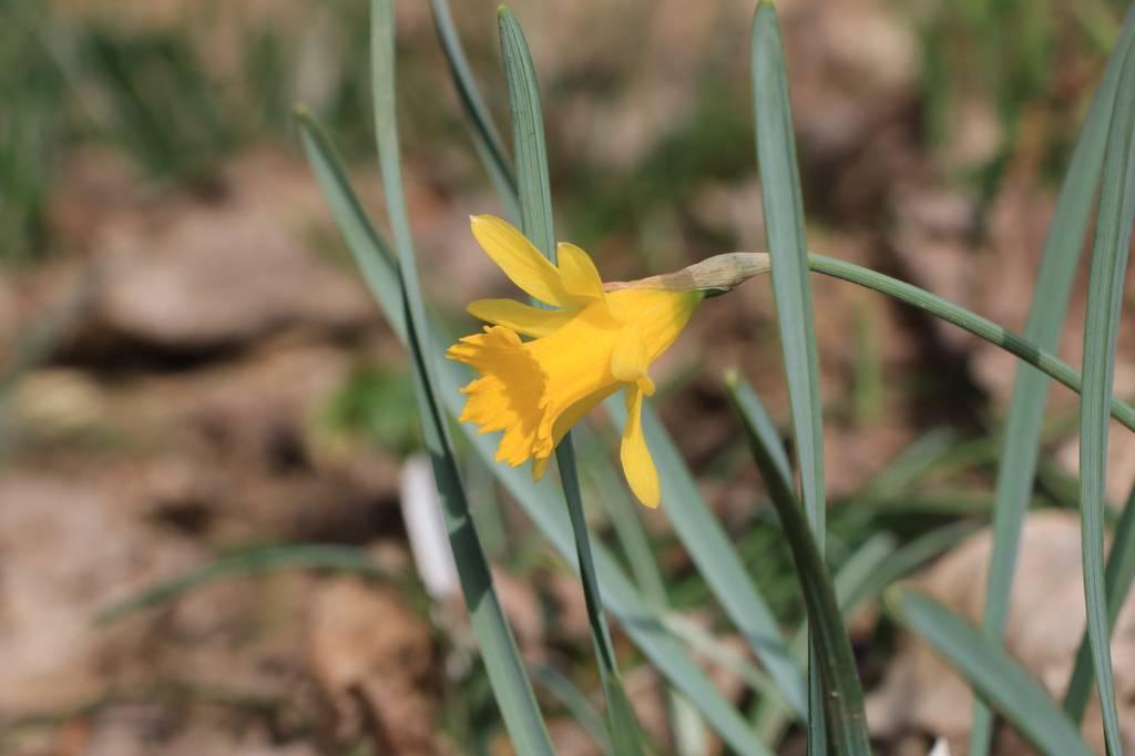 Narcissus 2021 Narcis26