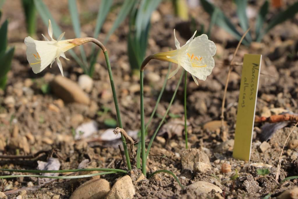 Narcissus 2021 Narcis27