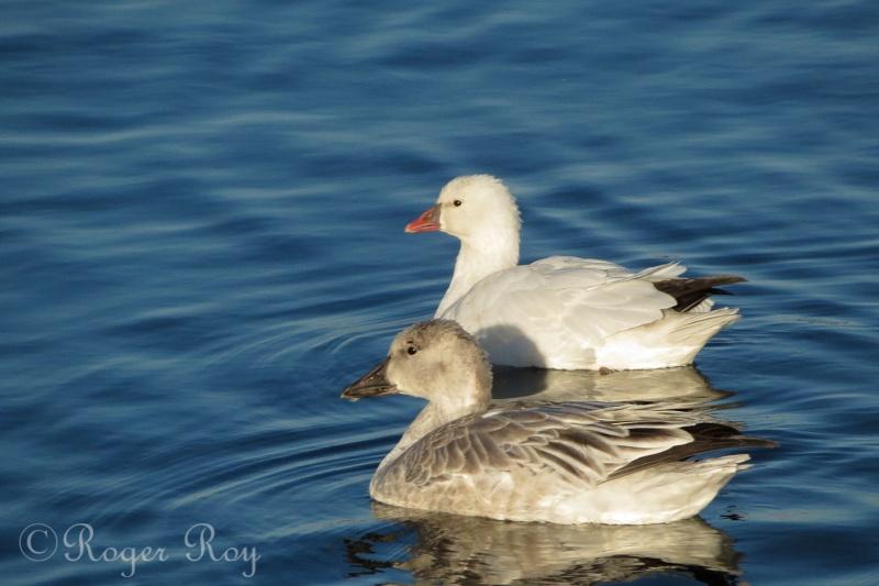 Oies de Ross 20141117