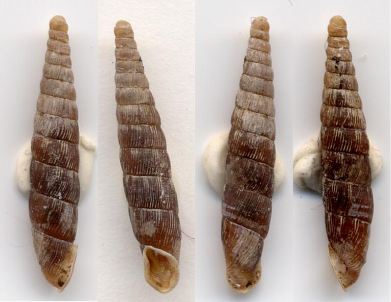 Clausilia cruciata (Studer, 1820) Clau2b10