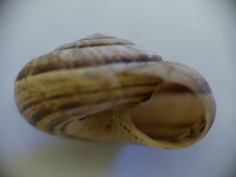 Xerosecta cespitum (Draparnaud, 1801) - Page 2 P1000814
