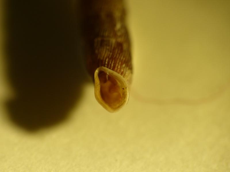 Clausilia cruciata (Studer, 1820) P1000910