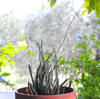 Aloe albiflora Aloe_a12