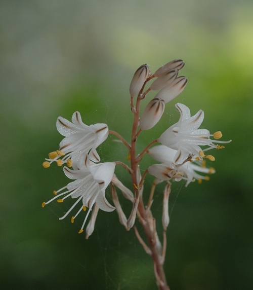 Aloe albiflora Aloe_a13