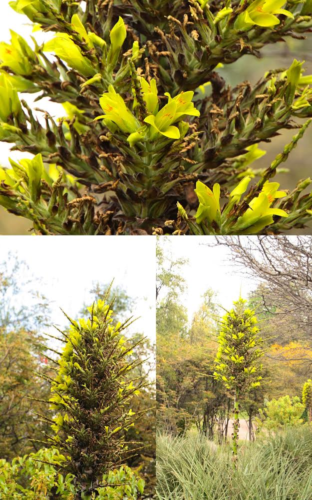 Puya chilensis et Carya ?  [id. non terminée] Unname10