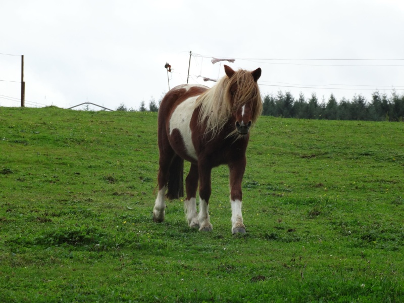INDIANA - ONC poney typée shetland présumée née en 2000 - adoptée en juillet 2013 - Page 3 Dsc00111