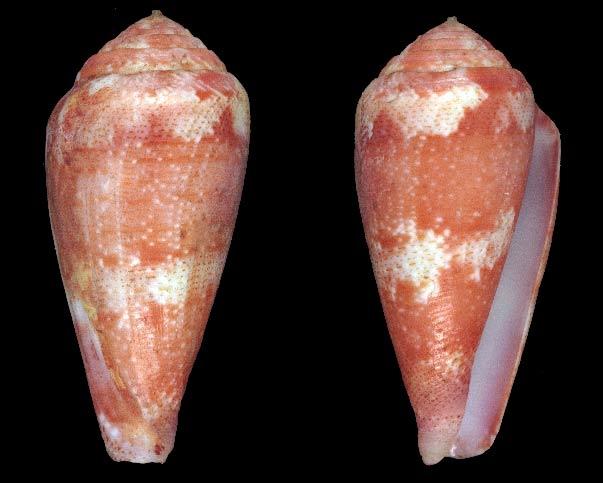 Conus (Rhizoconus) pertusus elodieallaryae  Cossignani, 2013 Sans-t17