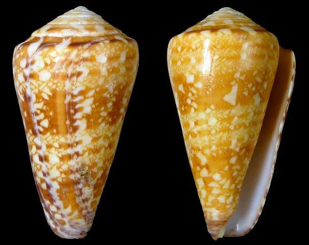 Conus (Leptoconus) royaikeni  (Veldsman, 2010) Sans-t21