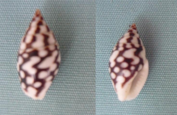columbellidae pyrene ocellata 00112