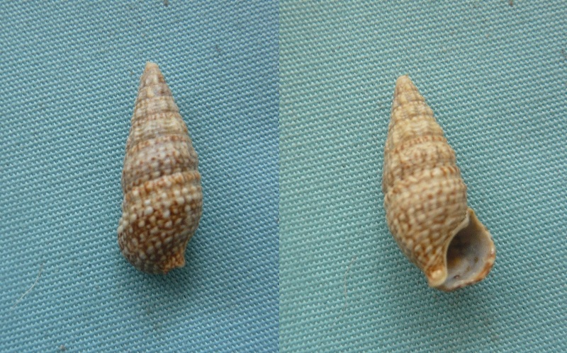 Cerithium lividulum - Risso 1826 00611