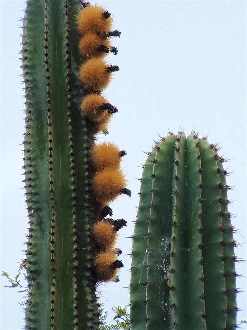 Pachycereus pecten-aboriginum Dscf0014