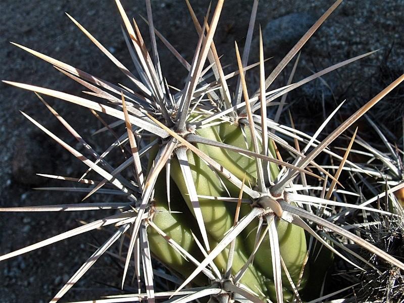 Corynopuntia invicta Dscf0028