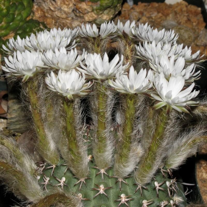 Pygmaeocereus bieblii ssp. kuehhasii Img_0710