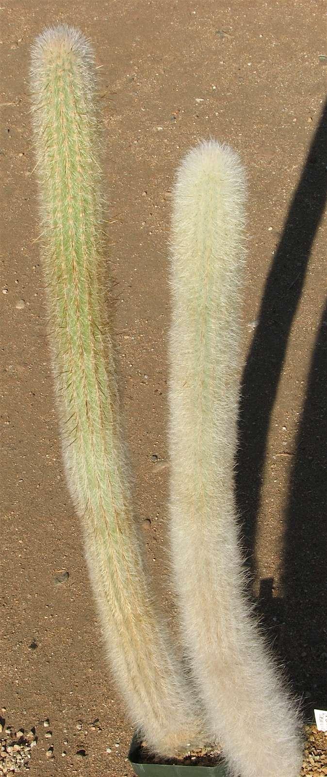 Espostoa/Trixanthocereus senilis Img_1012