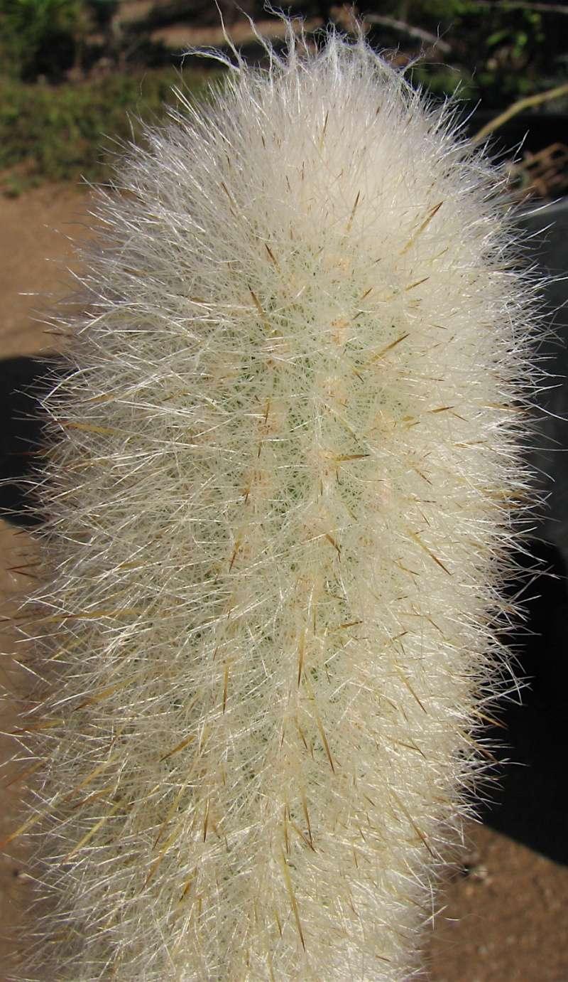 Espostoa/Trixanthocereus senilis Img_1013