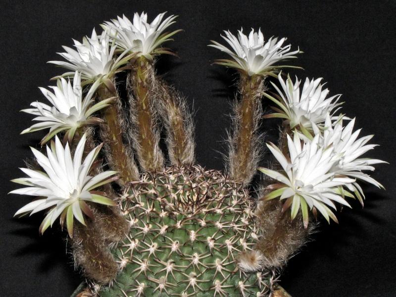 Pygmaeocereus bieblii ssp. kuehhasii Img_1210
