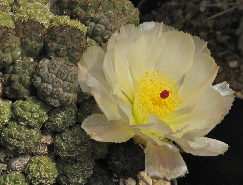 Maihueniopsis bonnieae Img_5710