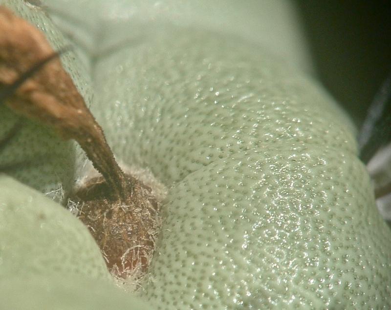 Ortegocactus macdougallii Ortego10