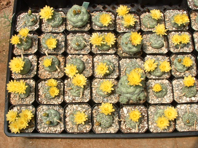 Ortegocactus macdougallii Seedpr10
