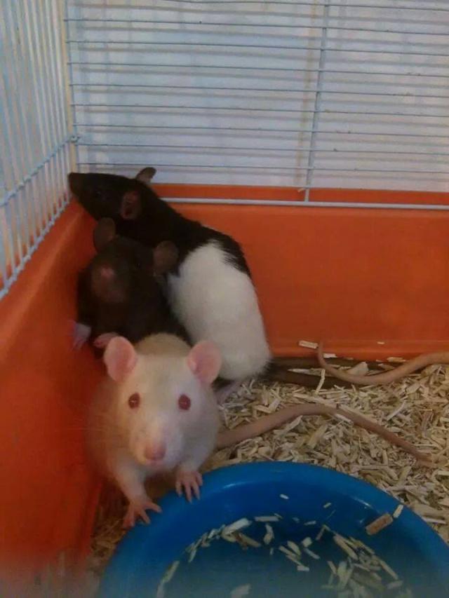 URGENT - sauvetage de 28 rats + une portée Hooded10