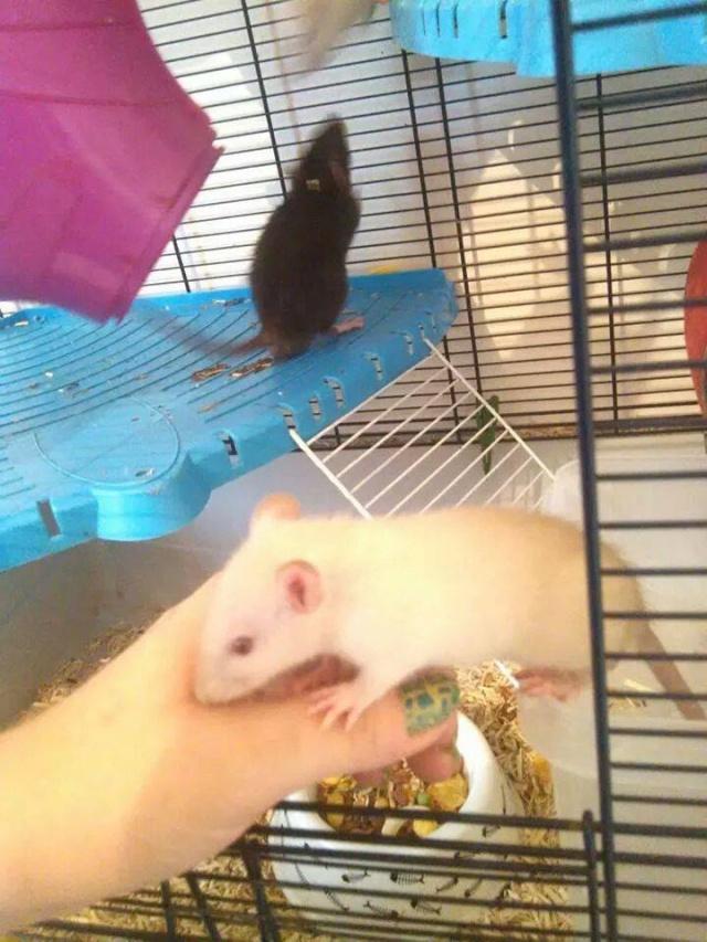 URGENT - sauvetage de 28 rats + une portée Nuage10