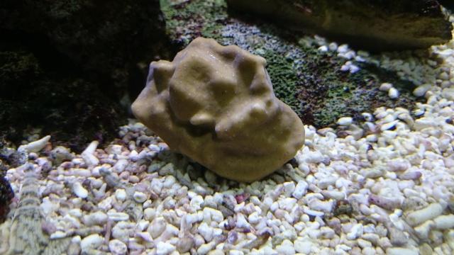 heliopora coerulea Dsc_0510