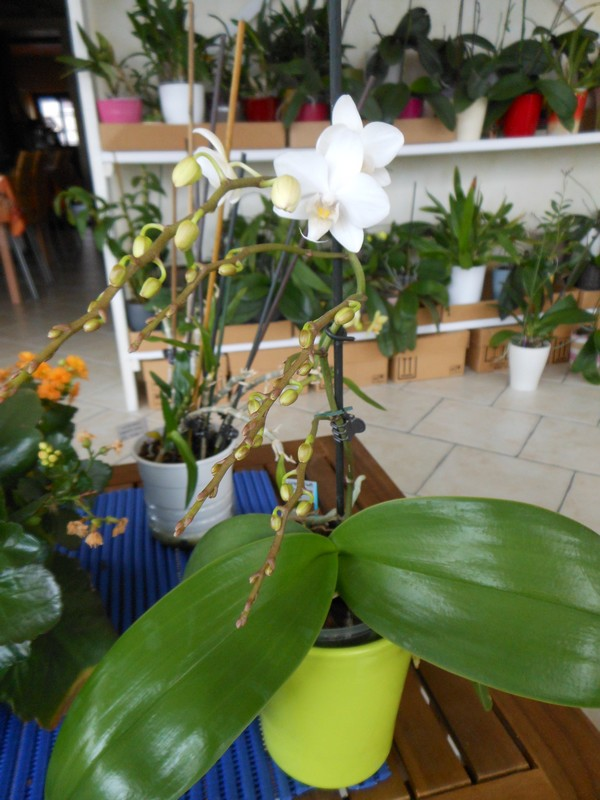 Phalaenopsis multiflora  - Page 2 Phal_m11