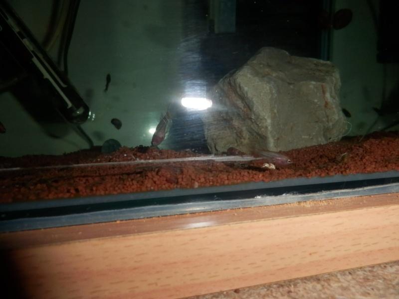 Male CT orange copper  / femelle HM black copper dragon  Pb180113