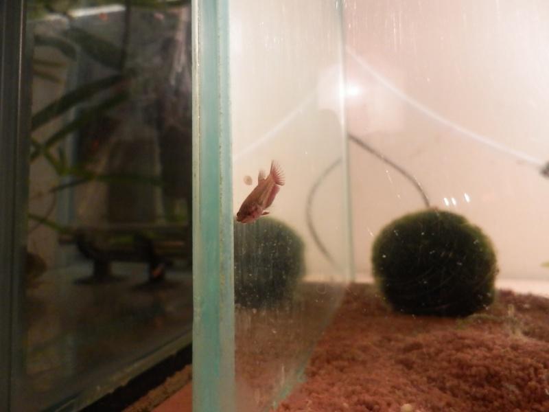 Male CT orange copper  / femelle HM black copper dragon  Pb180115