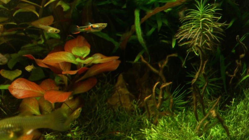 aquarium 54litres planté - Page 5 03310
