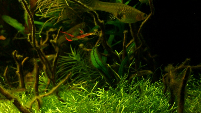 aquarium 54litres planté - Page 5 07710