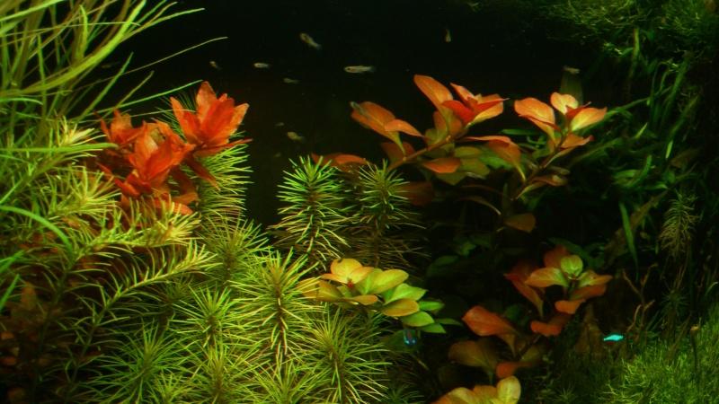 aquarium 54litres planté - Page 5 09110