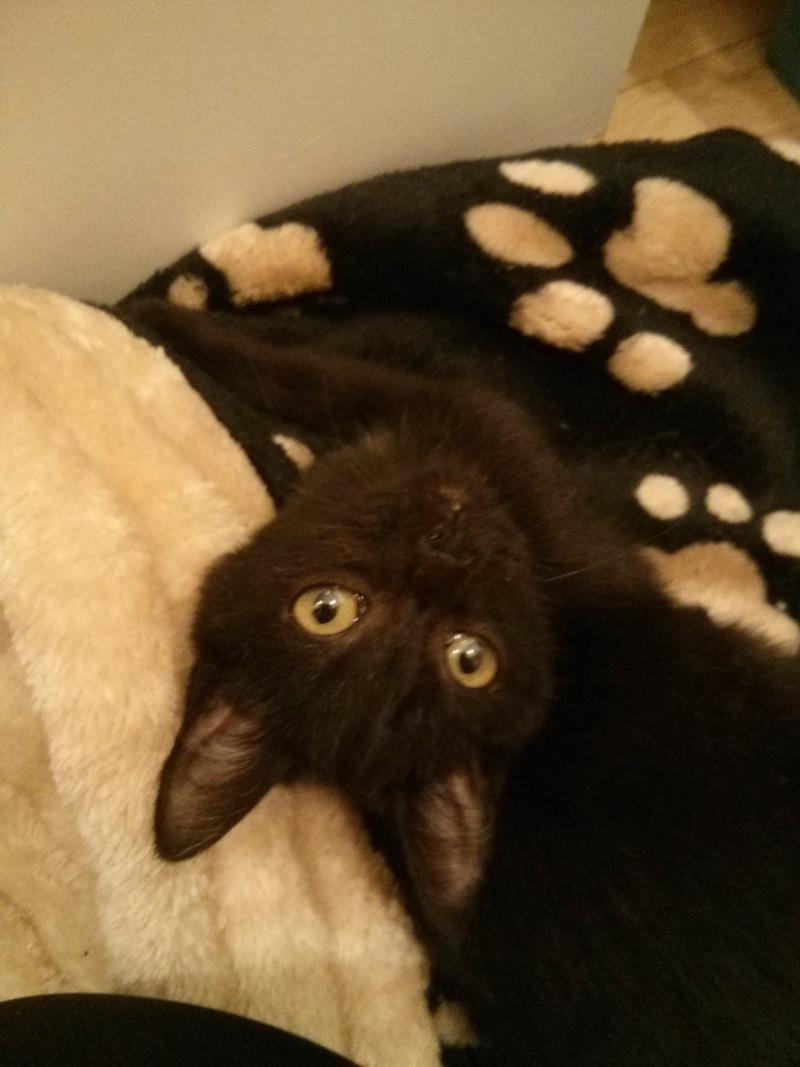 jasper - Jasper, chaton de type européen noir, né le 06/09/2014 en sauvetage! Img_2022